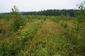 Древесные сорные растения.